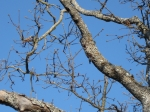 Nuthatch - Tapping out a Nest in Limb of Garry Oak Tree