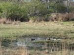 Mallards in Central Meadow