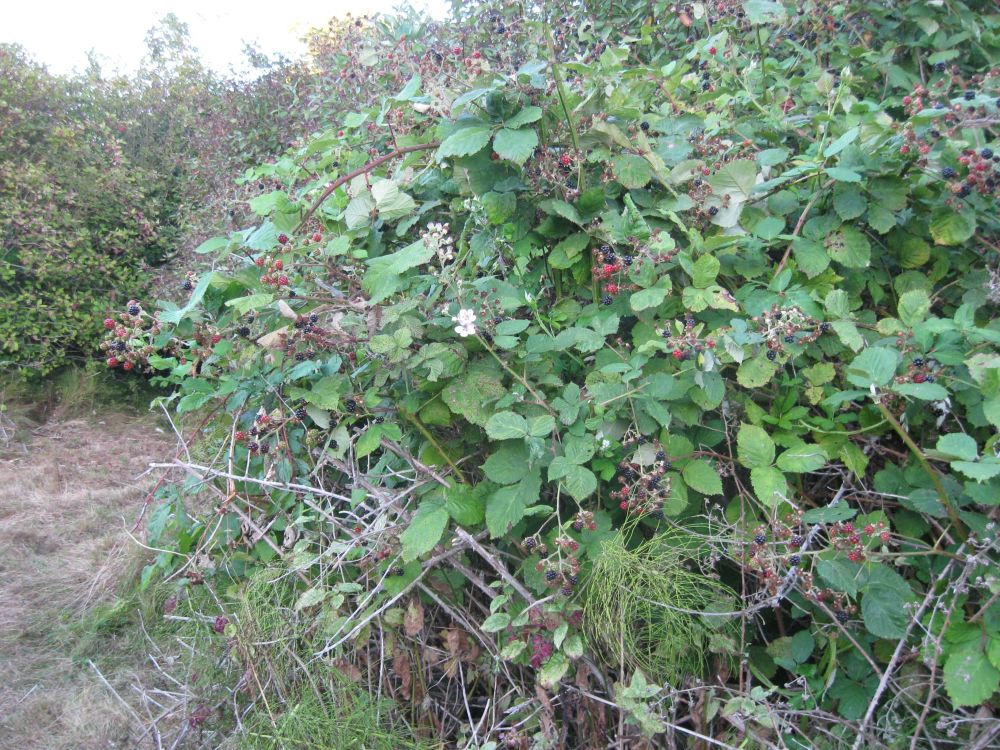 Blackberry Thorns May Help Discourage Bikes in Uplands Park (2/3)