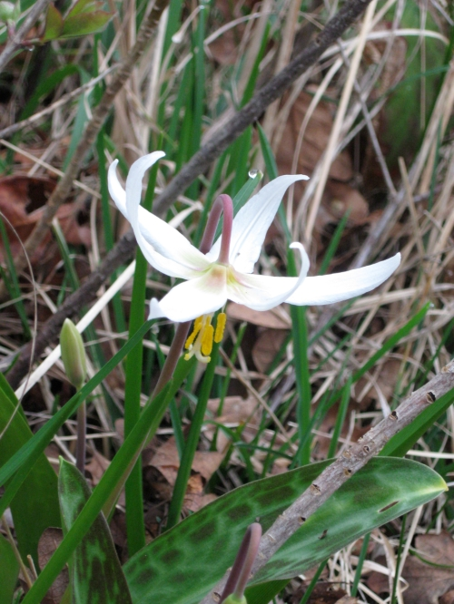 Fawn Lily March 24-2013_IMG_0915
