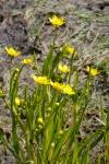 Ranunculus alismifolius - Uplands Park Victoria_MG_7671ar