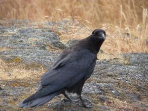 Wayne Raven Photo Uplands Park July 2014 P1060480