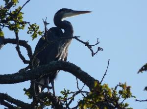 Wayne Matthews - Heron Sept 28-2014 P1060729