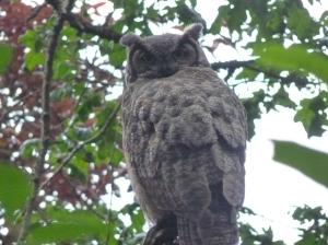 Wayne Matthews - Owl - June 11-2014 P1060400