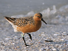 Red Knot from Wilkipedia 220px-Calidris_canutus_(summer)