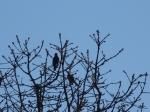 Spring Gold and Birds - Uplands Park 2015-02-28