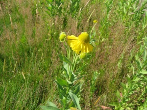Mountain Sneezeweed (photo by Kathleen)